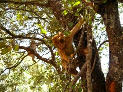 Wild monkeys in trees in Morocco