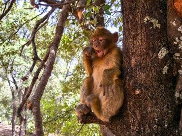 Wild monkey eating peanut in tree in Morocco