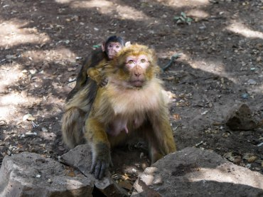 Wild monkey mom and baby in Morocco