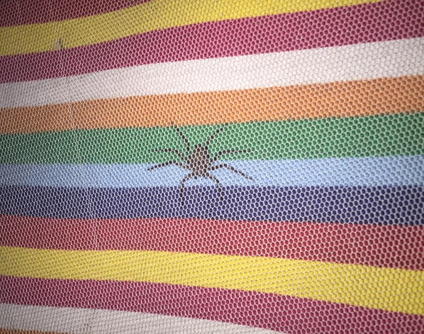 Giant spider in Cabo Polonio hostel in Uruguay